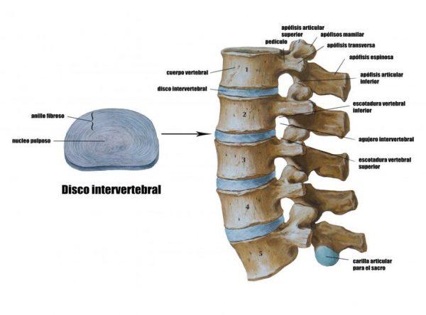 disco-intervertebral